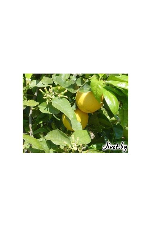 Бергамотово дърво / PRANAROM