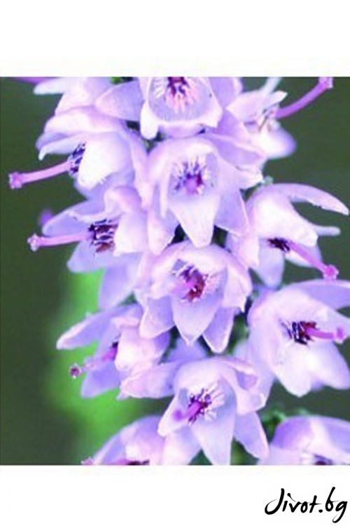 Капките на д-р Бах от ПИРЕН / Calluna vulgaris